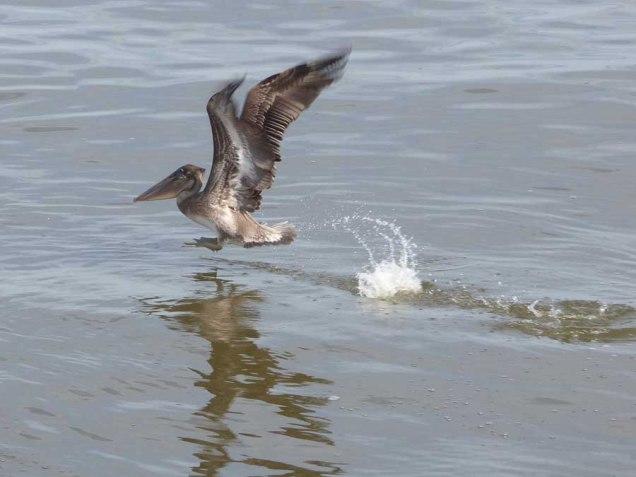 b09 Pelican Hop