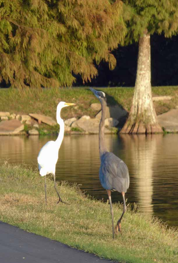 b1 Egret and Heron