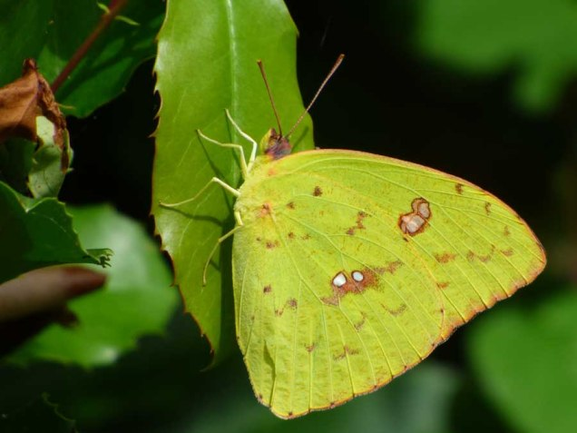 b12 Cloudless Sulphur Butterfly