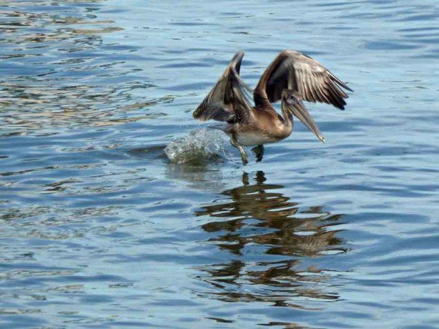 b12 Pelican
