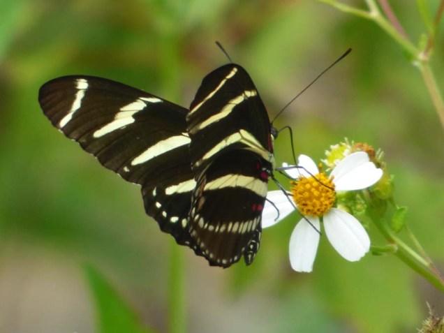b13 Zebra Wing Butterfly
