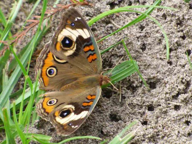 b14 Buckeye Butterfly