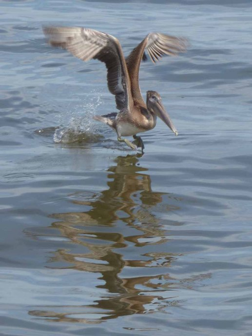 b14 Pelican