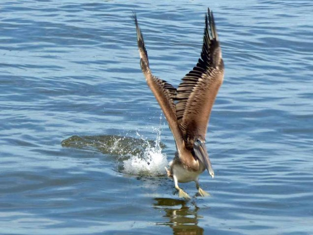 b15 Pelican