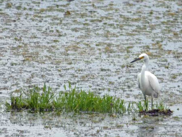 b15 Snowy Egret