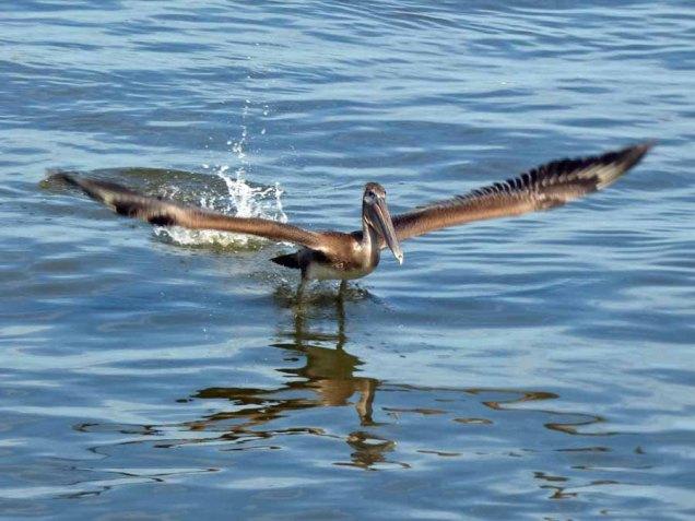 b16 Pelican