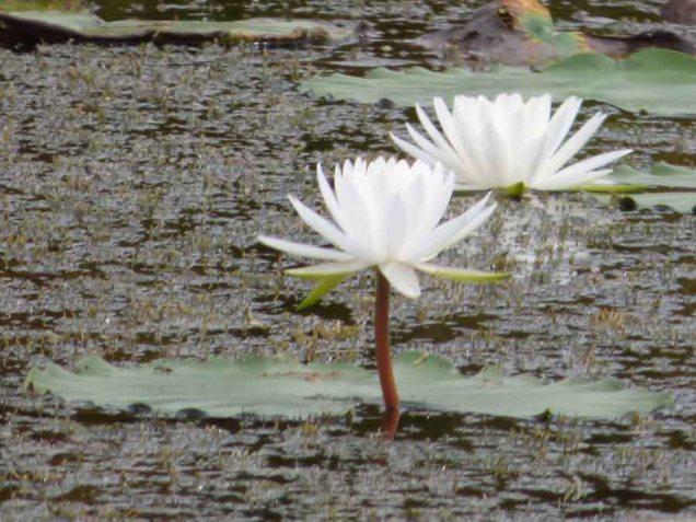 b18 Water Lillies