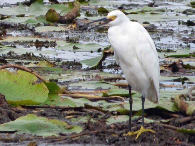 b25 Snowy Egret