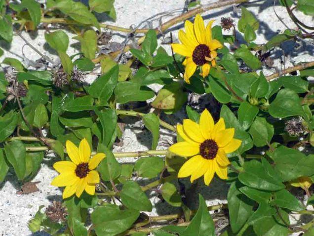 b Beach Sun Flowers