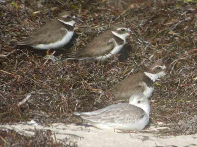 b Birds Hunkered Down Behind Beach Grass