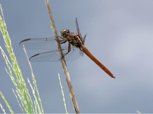 b Dragonfly