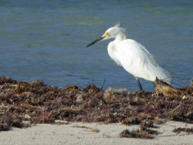 b Egret on Shoal