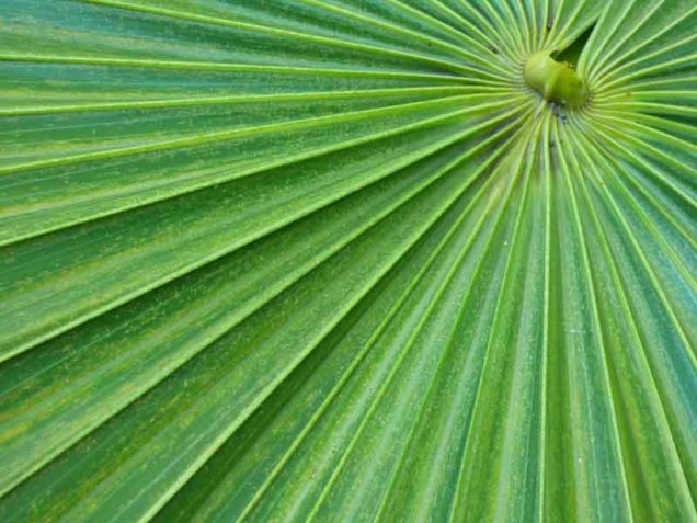b Florida Thatch Palm Closeup