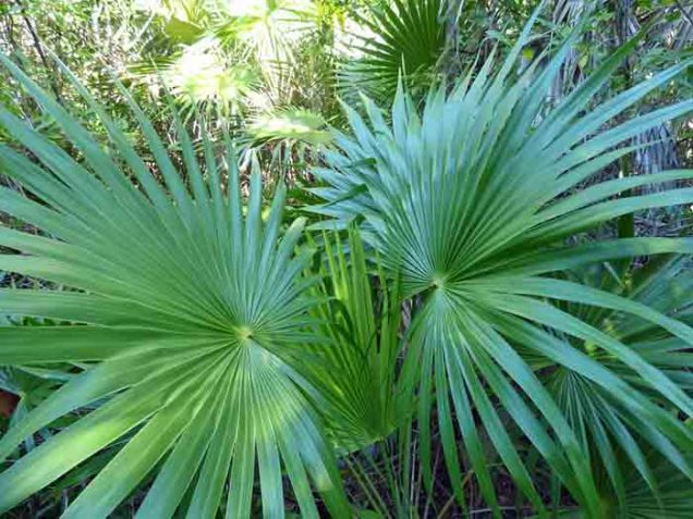 b Florida Thatch Palm
