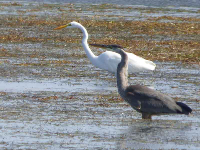 b Great Blue Heron and Great White Egret