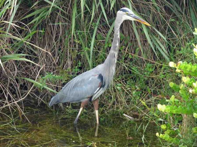 b Great Blue Heron Hunting