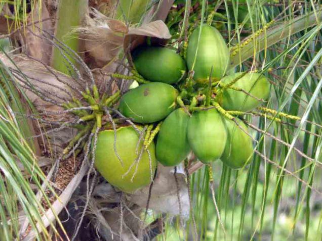 b Green Coconuts