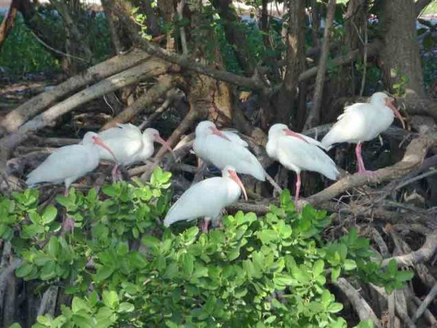 b Ibis on Mangrove Roots