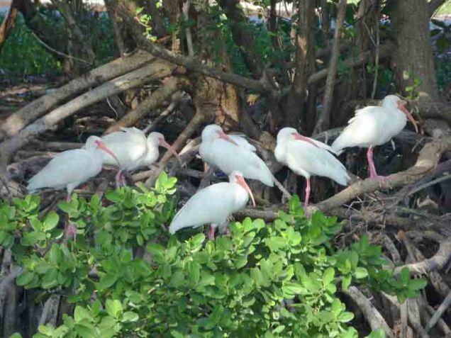 b Ibis on Mangrove Roots