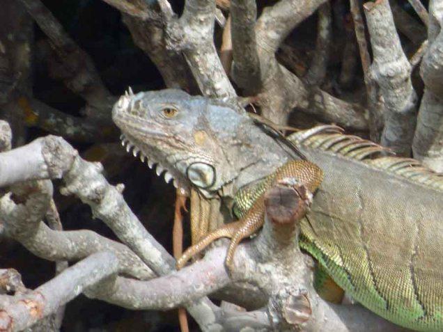 b Iguana Close Up