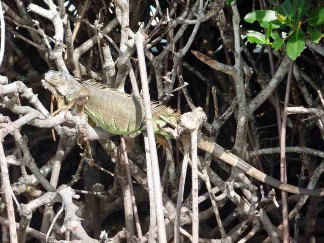 b Iguana in Mangroves