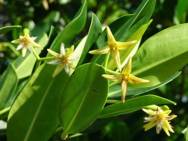 b Mangrove Blossoms