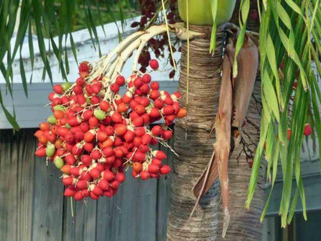 b Palm Tree Fruit