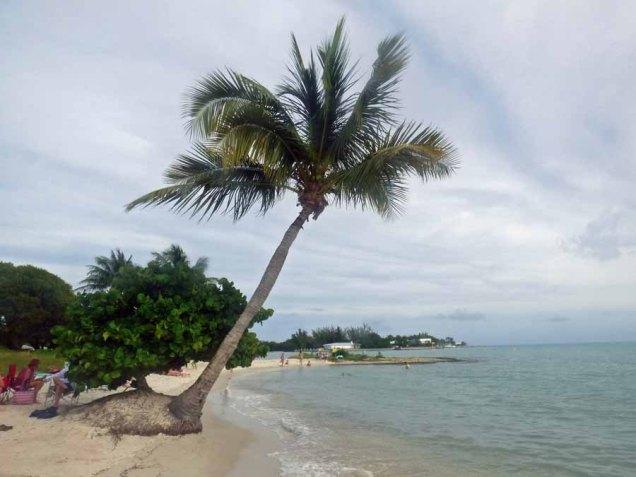 b Sea Grape Growing on Base of Palm Tree