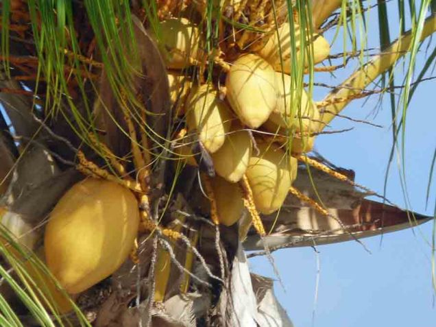 b Yellow Coconuts