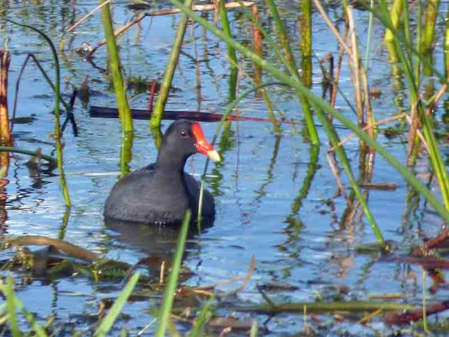 b Common Moorhen