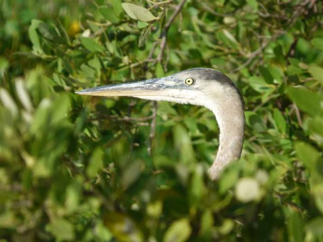 b Great Blue Heron Head
