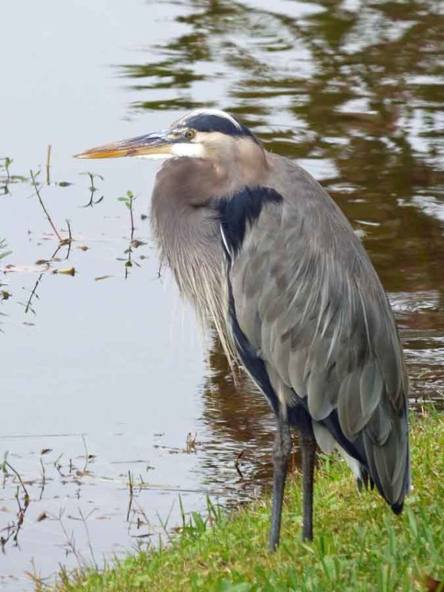 b Great Blue Heron