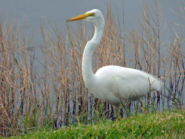 b Great White Egret