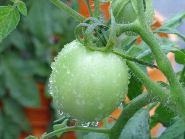 b Green Tomato