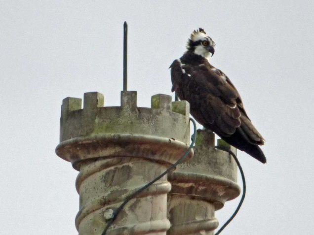 b Osprey on Top of Building