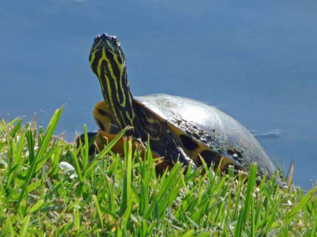 b Turtle on Grass Bank
