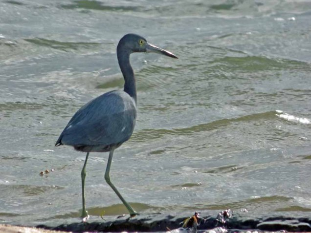 b02 Little Blue Heron