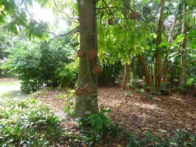 b16 Canonball Tree