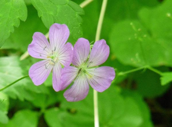 Log Dainty Lavender Blooms