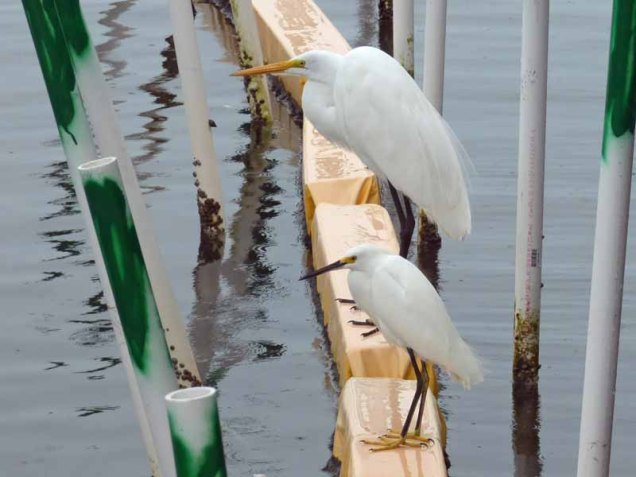 b Great Egret and Snowy Egret