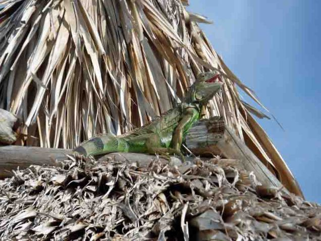 b Iguana on Tiki Roof
