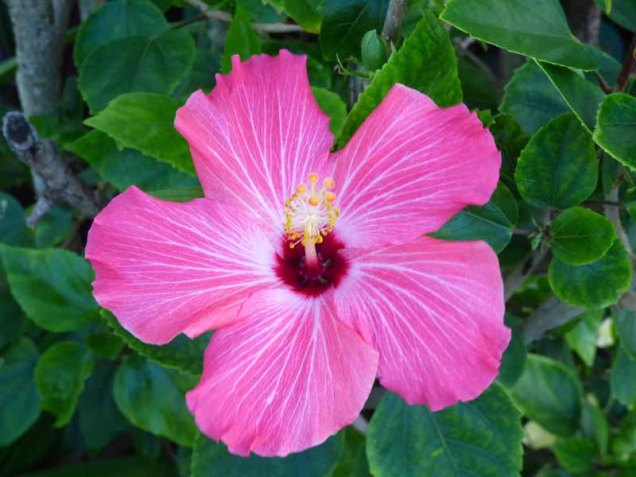 b Pink Hibiscus