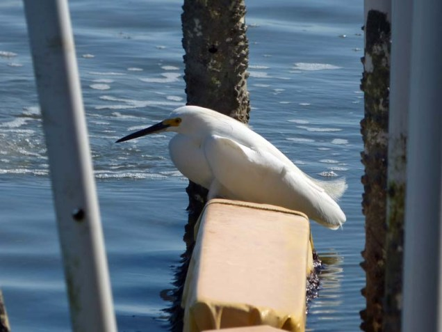 b Snowy Egret Roosting on Float