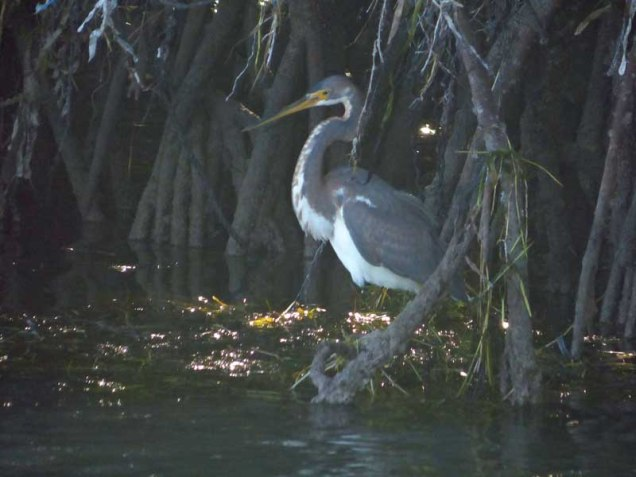 b Tricolor Heron in Mangrove Roots