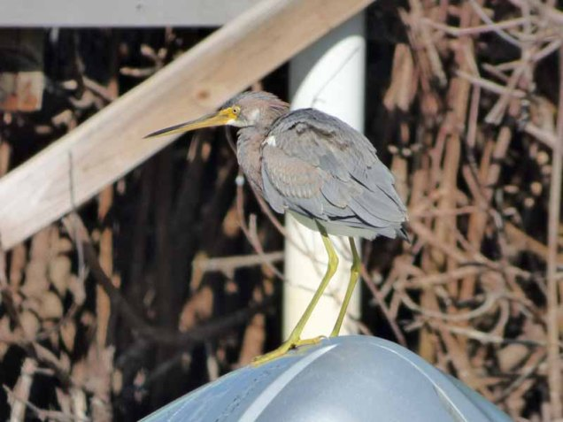 b Tricolor Heron on Outboard Engine