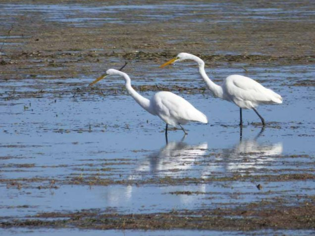 b Two Great White Egrets Fishing