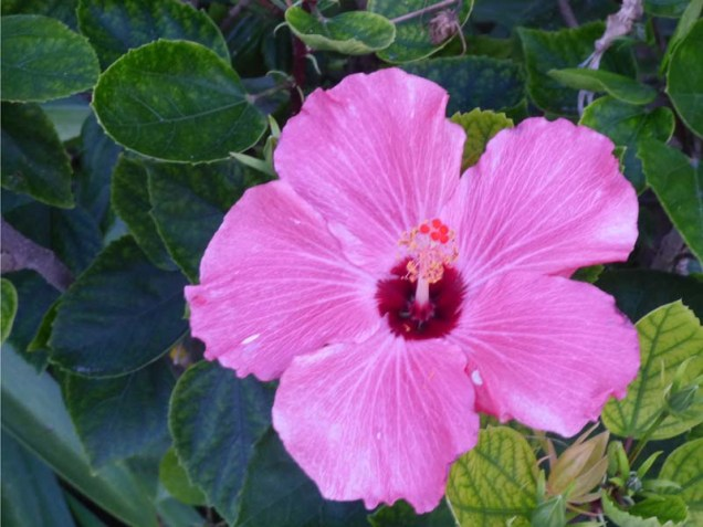 b05 Pink Hibiscus
