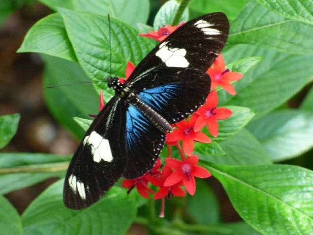 b Black Butterfly w Blue and White Spots