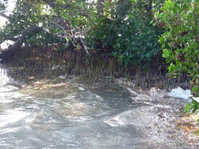 b Black Mangrove Pneumatophors