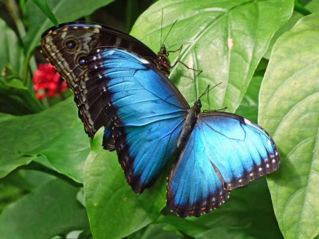 b Blue Butterfly Pair